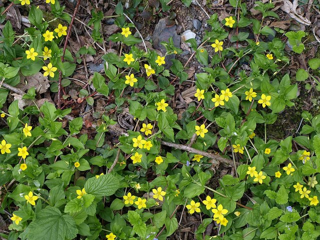File:Yellow Pimpernel - geograph.org.uk - 1302032.jpg - Wikimedia Commons