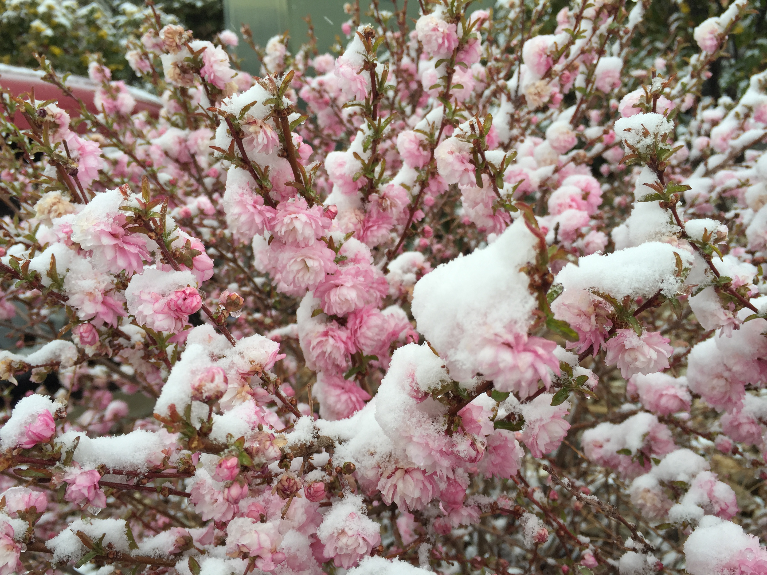 File 2015 04 08 07 48 10 A wet spring snow on Dwarf Flowering Almond blossoms