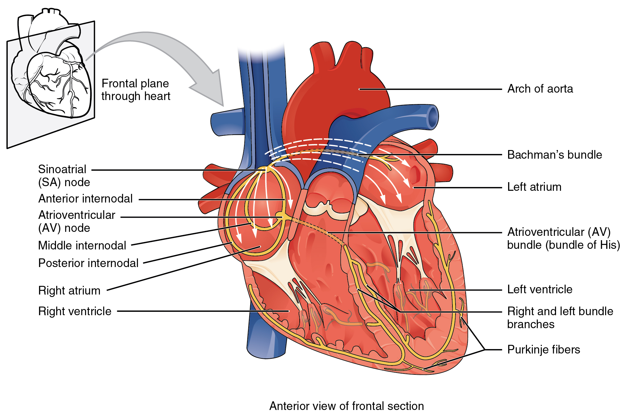 File:2018 Conduction System of Heart.jpg - Wikimedia Commons