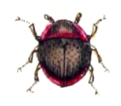 File:Agathidium.seminulum.-.calwer.13.19.jpg
