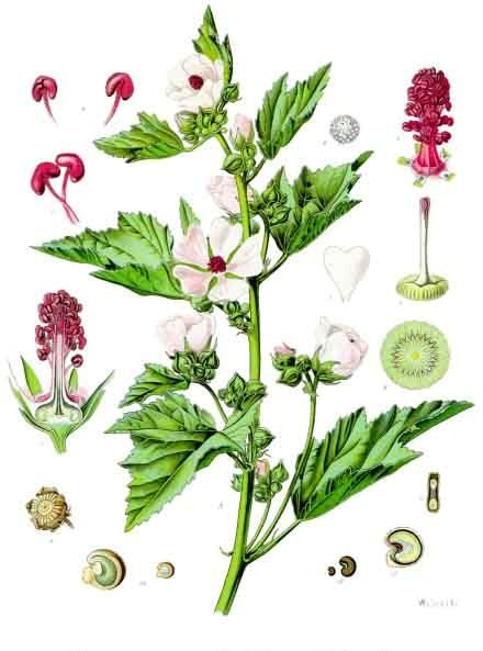 Depiction of Althaea