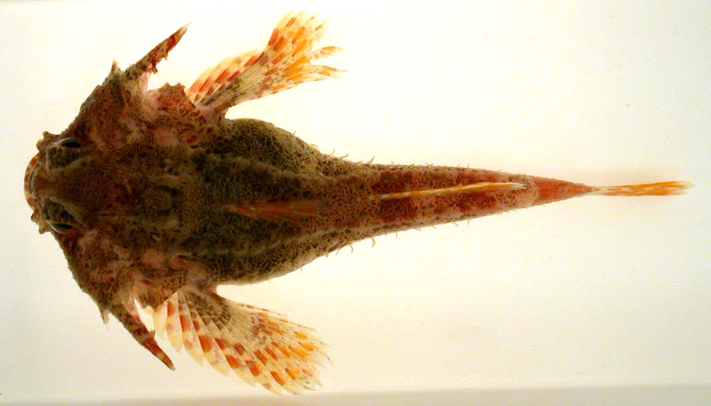 File:Antlered Sculpin.jpg - Wikimedia Commons