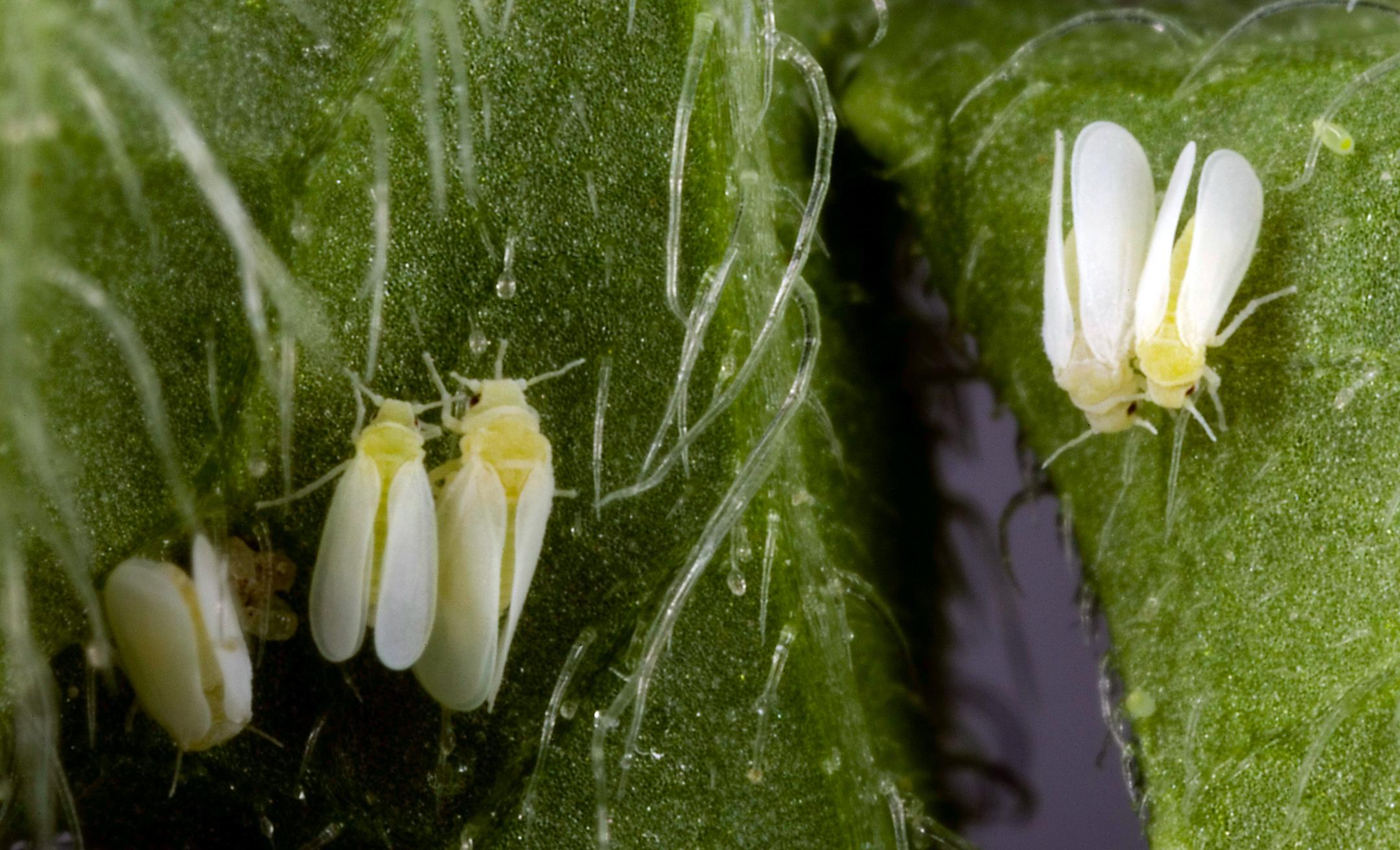 Белые мошки на комнатных растениях как бороться в домашних условиях фото