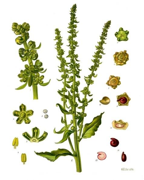 Cours 19 : Beta vulgaris Beta_vulgaris_-_K%C3%B6hler%E2%80%93s_Medizinal-Pflanzen-167