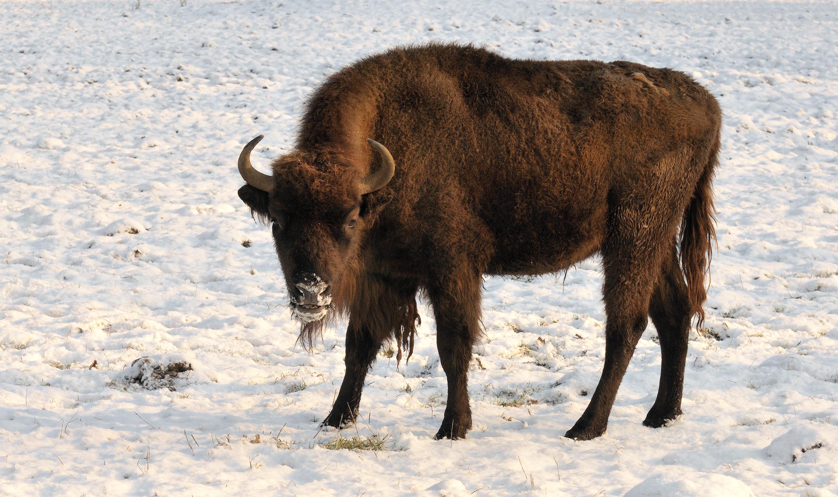 Bison bonasus bonasus