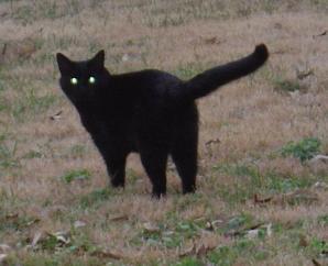 File:Black cat eyes.jpg