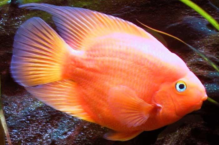 Папуга (риба) — Вікіпедія