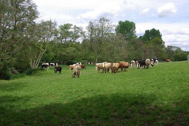 Bullocks near Hartfield - geograph.org.uk - 1618961
