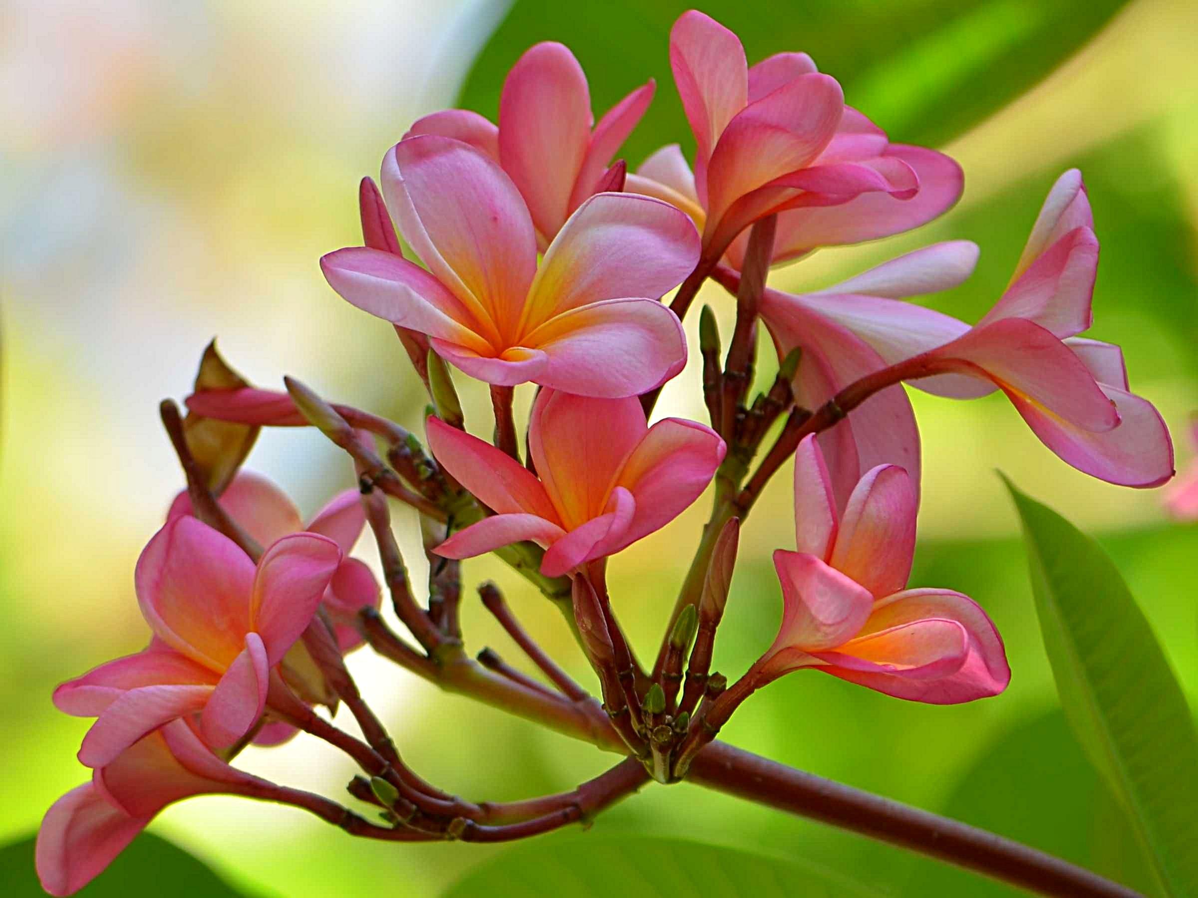 File:Bunga Kamboja (Plumeria sp).JPG - Wikimedia Commons