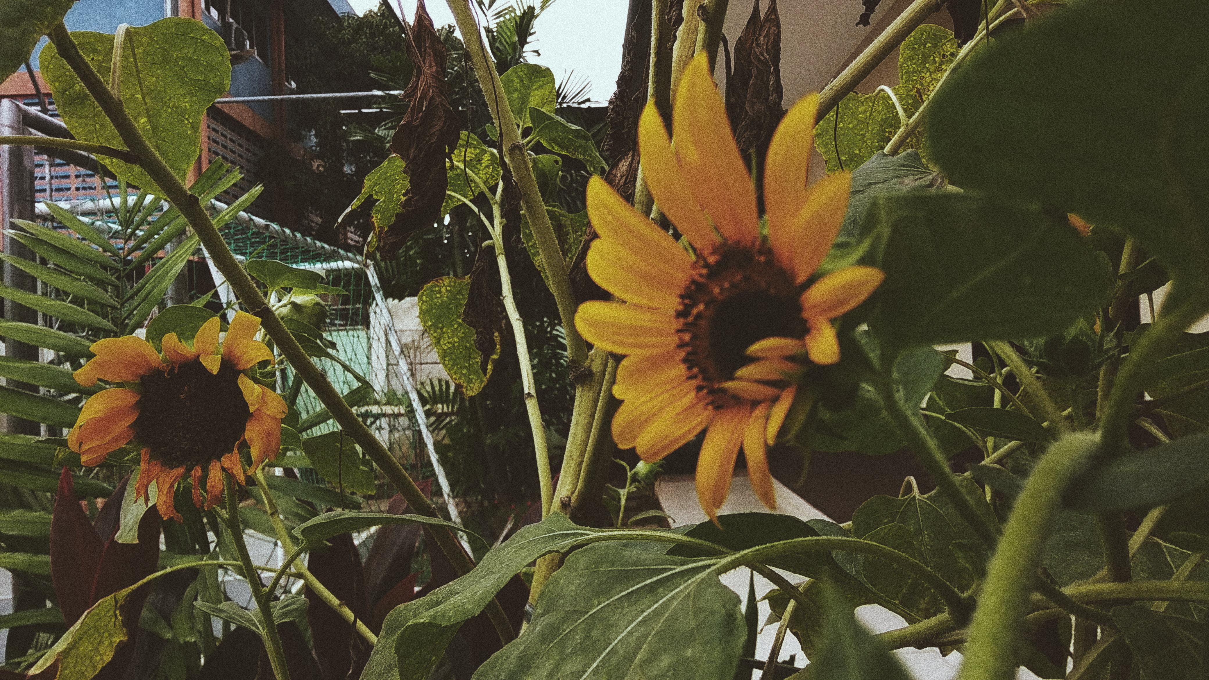 File Bunga Matahari Jpg Wikimedia Commons