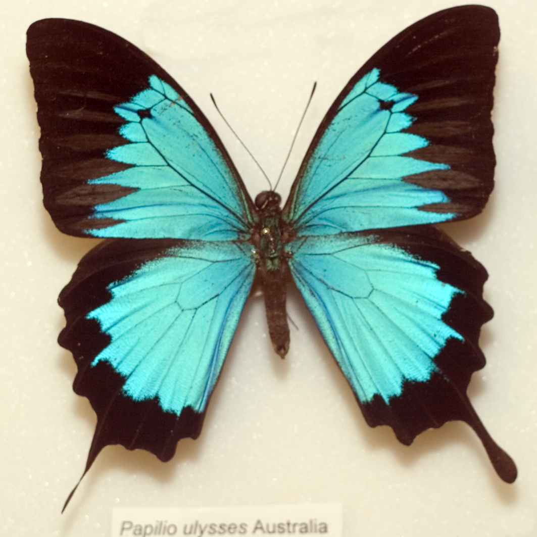 Ulysses Butterfly Papilio ulysses...