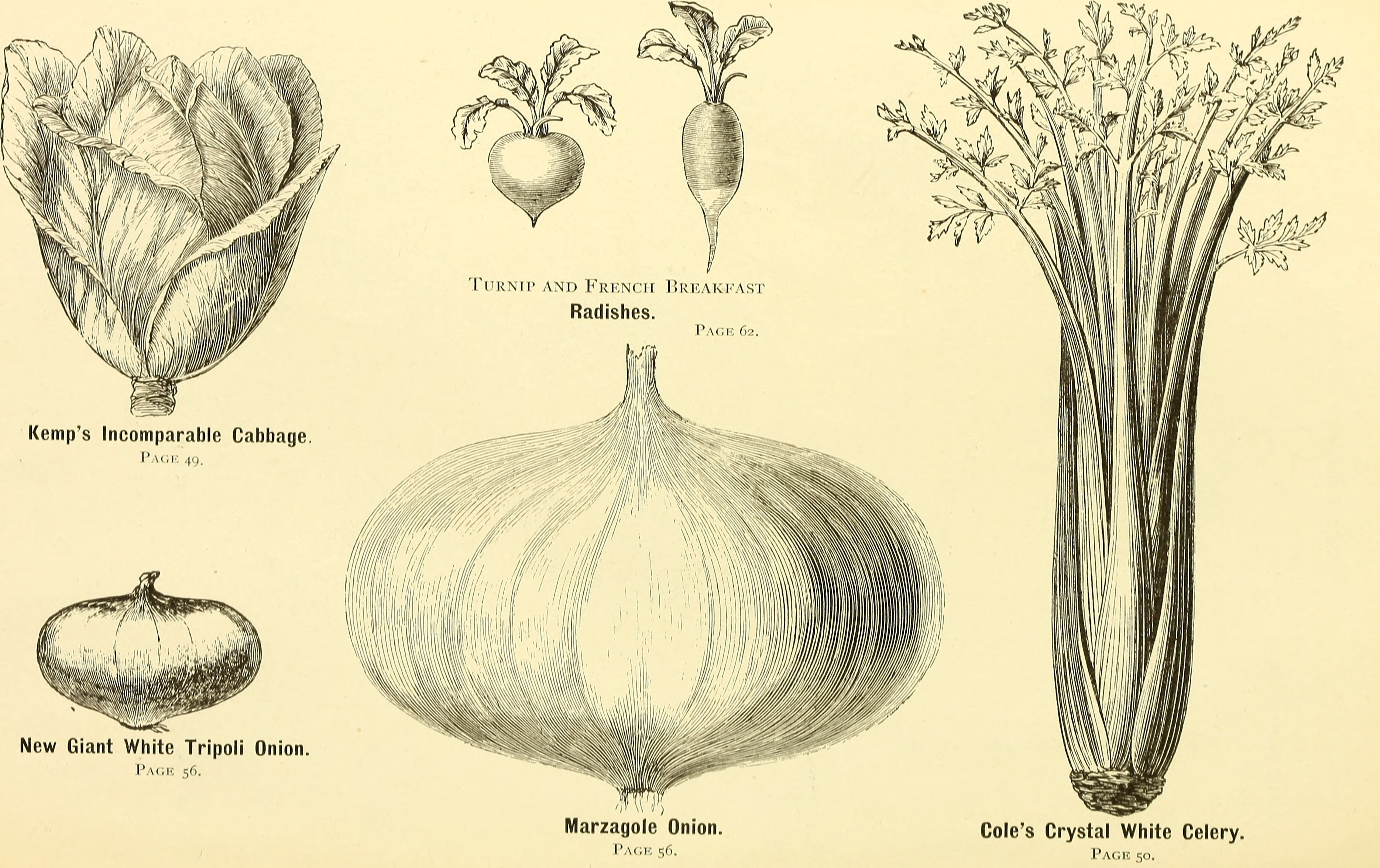 Filecatalogue Of Flower And Vegetable Seeds Gladiolus Lilies And