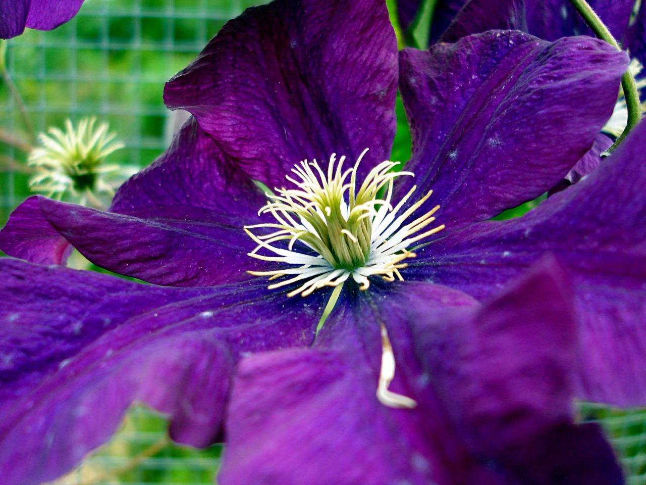 Etoile Violette Clematis
