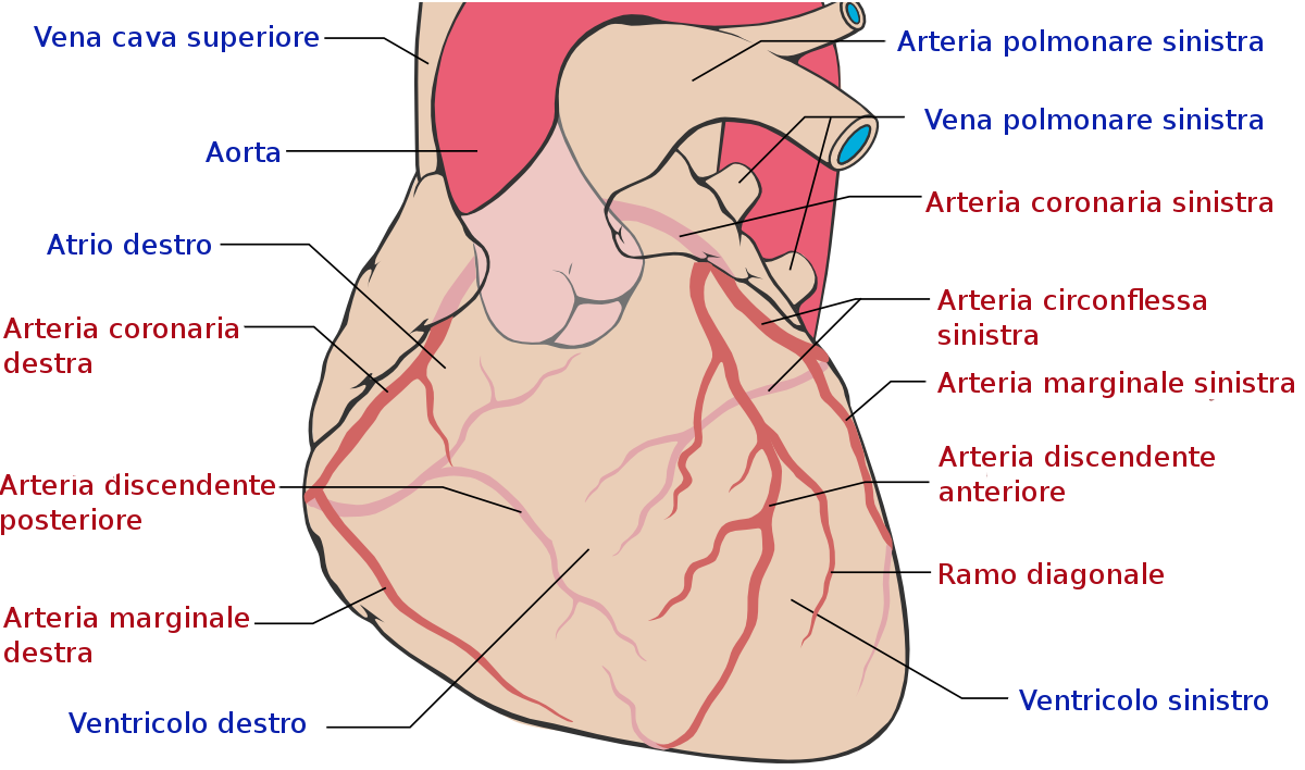 due grosse vene del cuore