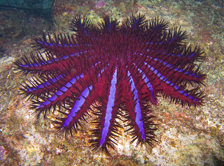 Image result for Crown of thorns starfish