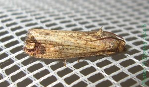 <i>Cryptophlebia</i> Genus of tortrix moths