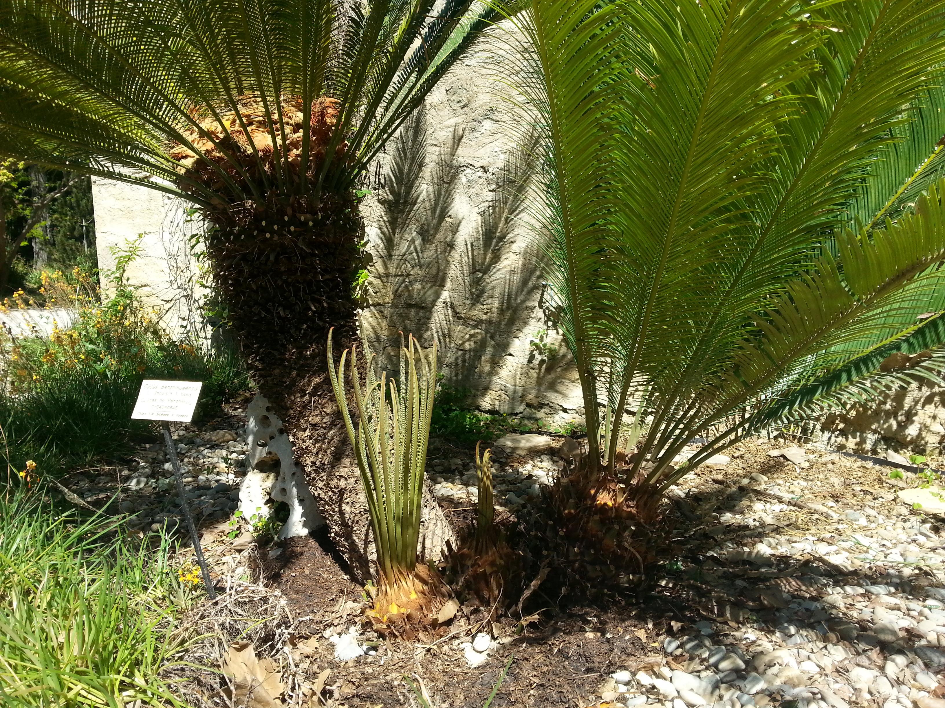 File Cycas panzhihuaensis Jardin des plantes de Montpellier 05