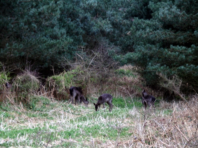 Deer, Sherwood Pines - geograph.org.uk - 388481