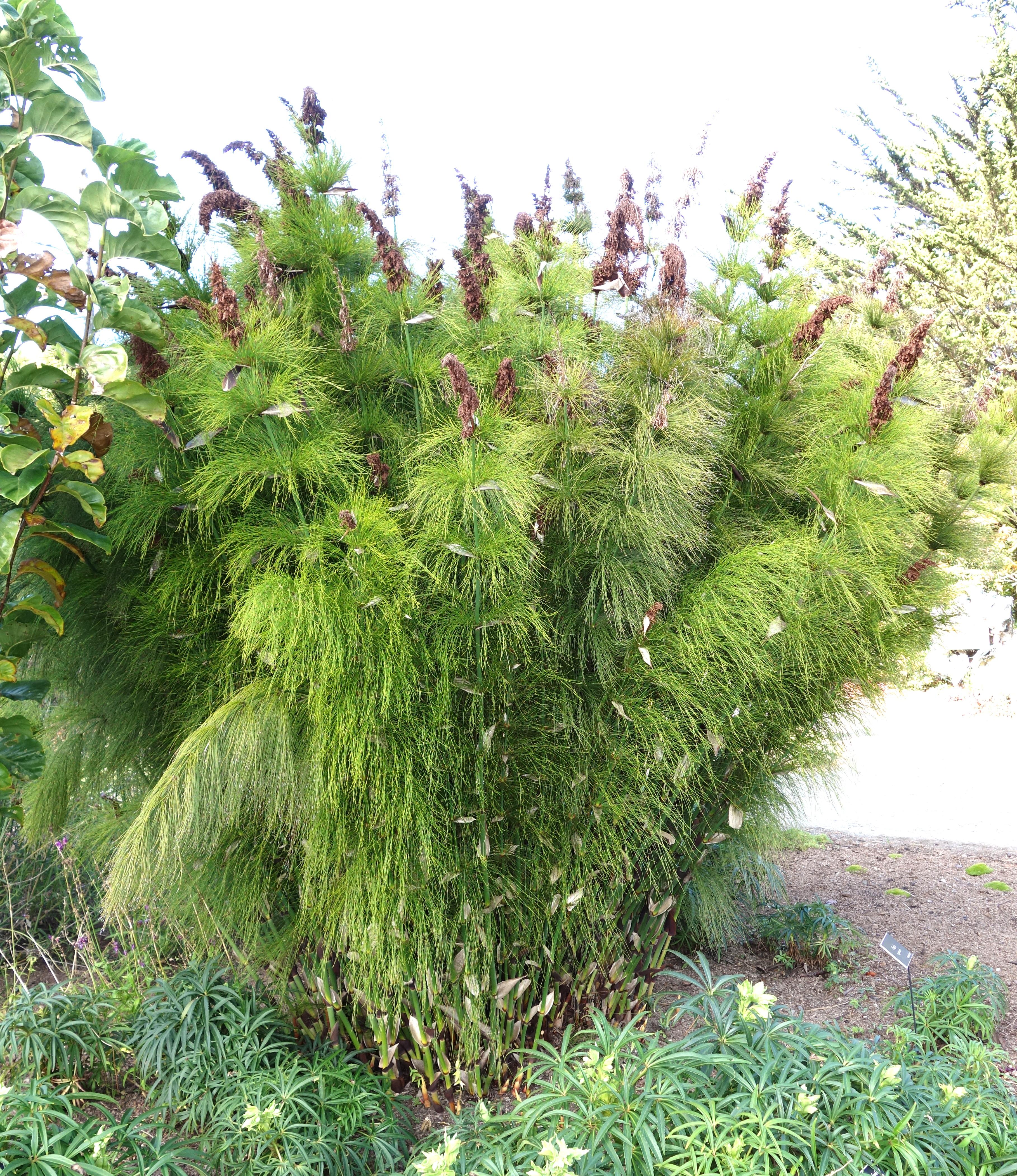 File:Elegia Capensis   Mendocino Coast Botanical Gardens   DSC02007.JPG