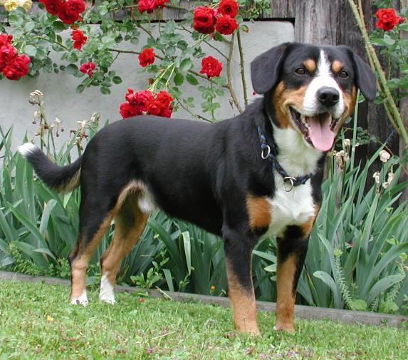 Entlebucher Sennenhund Wikipedia