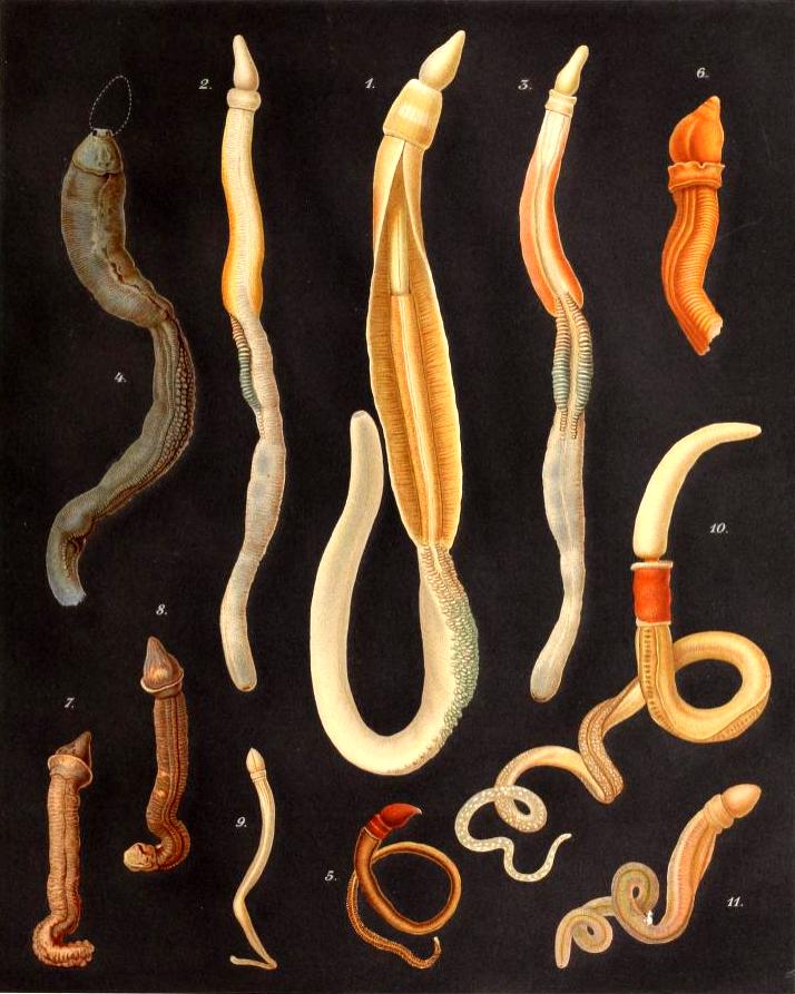 File:Enteropneusta.png - Wikimedia Commons