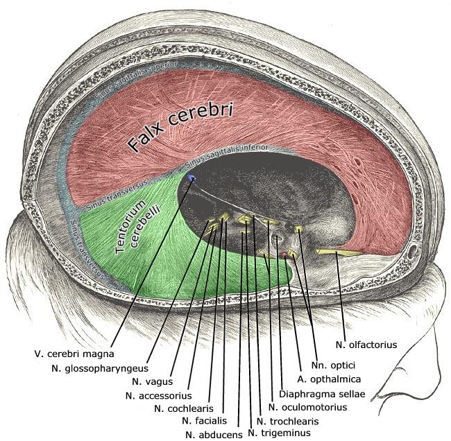 Tentorium cerebelli – Wikipedia