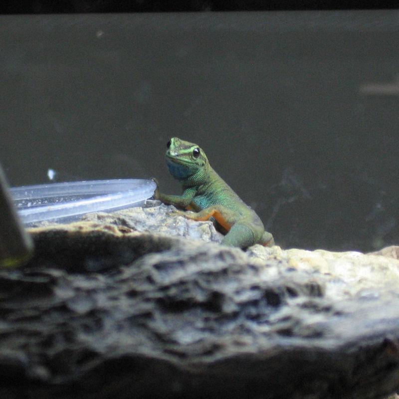 Female Electric Blue Gecko