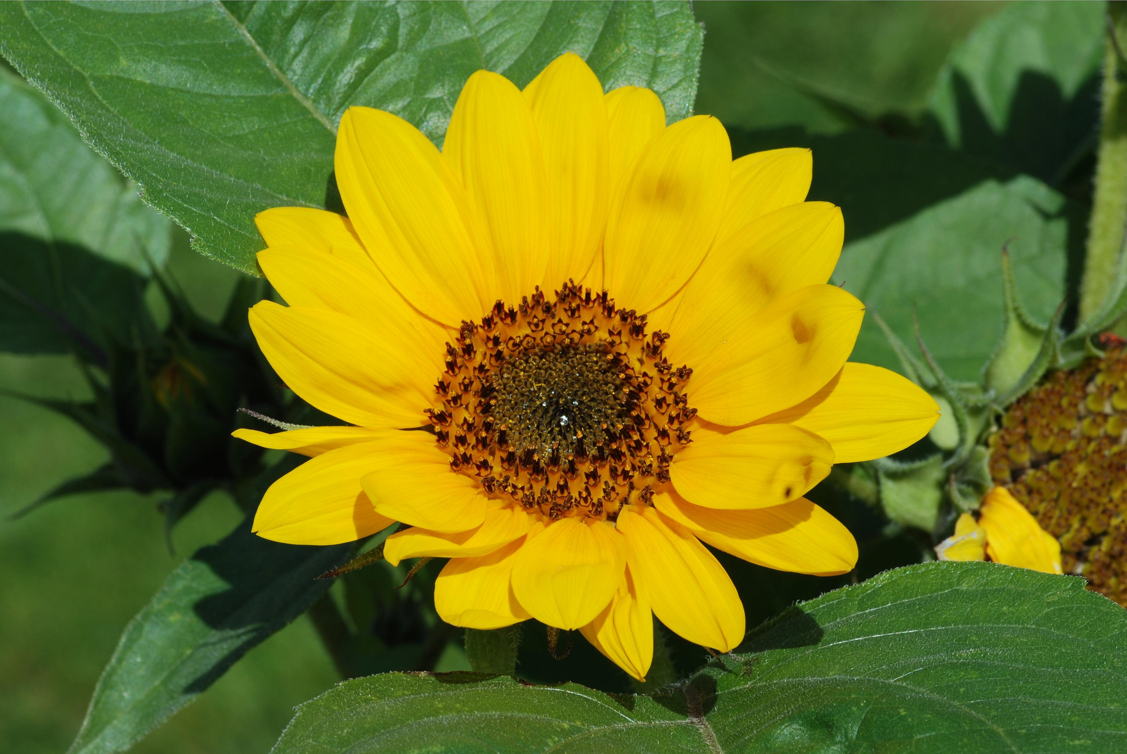 Fileflower July 2011 2g Wikimedia Commons