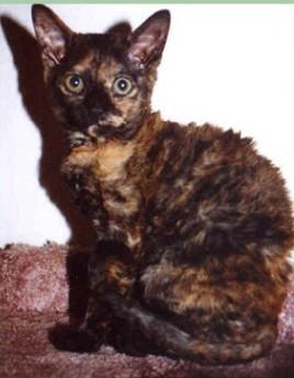 German Rex - Cat Scanner