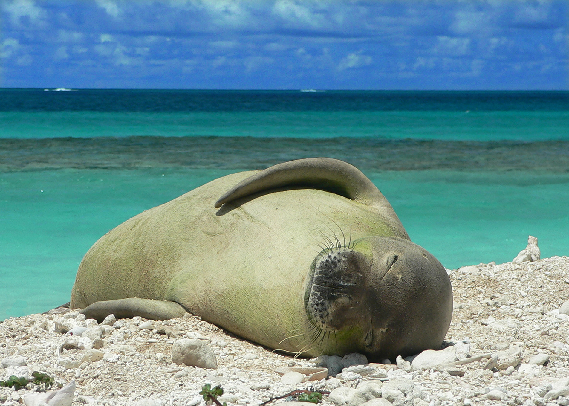 File:Hawaiian monk seal at French Frigate Shoals 06.jpg ...