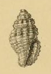 <i>Hemilienardia iospira</i> Species of gastropod