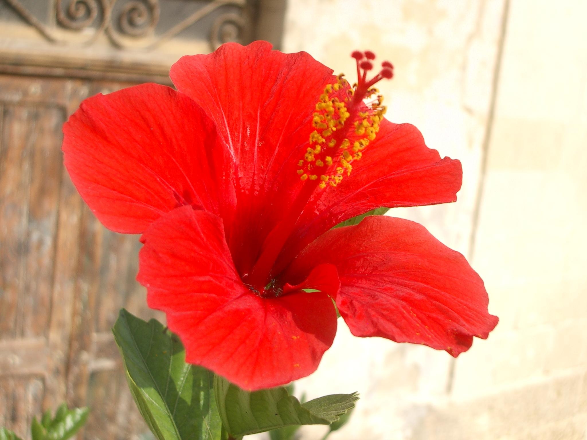 Hibiscus rosa sinensis l enhibiscus rosa sinensis 2048 x 1536 1706k jpg uploadmedia izmirmasajfo