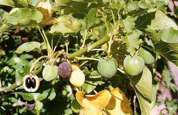 Jatropha Biodiesel In India Wikipedia