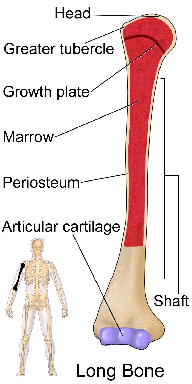 Filelong Bone Humerusg Wikimedia Commons