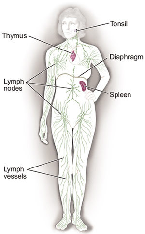 Filelymphoma Lymph Node Diagramg Wikimedia Commons