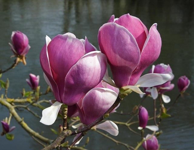 Magnolia by River Avon, Fordingbridge - geograph.org.uk - 385545