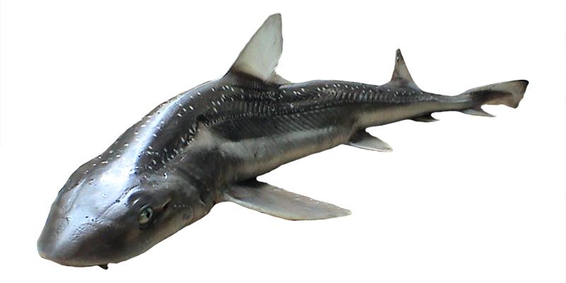 Manazo サメがサメを食べる瞬間に釣り上げられる!