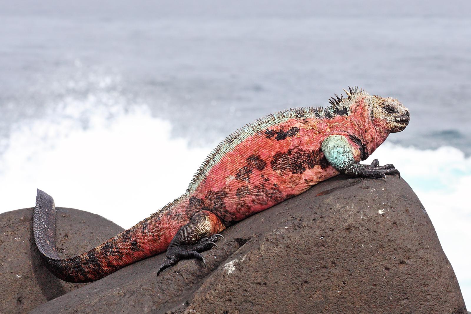Célèbre File:Marine-Iguana-Espanola.jpg - Wikipedia QR61