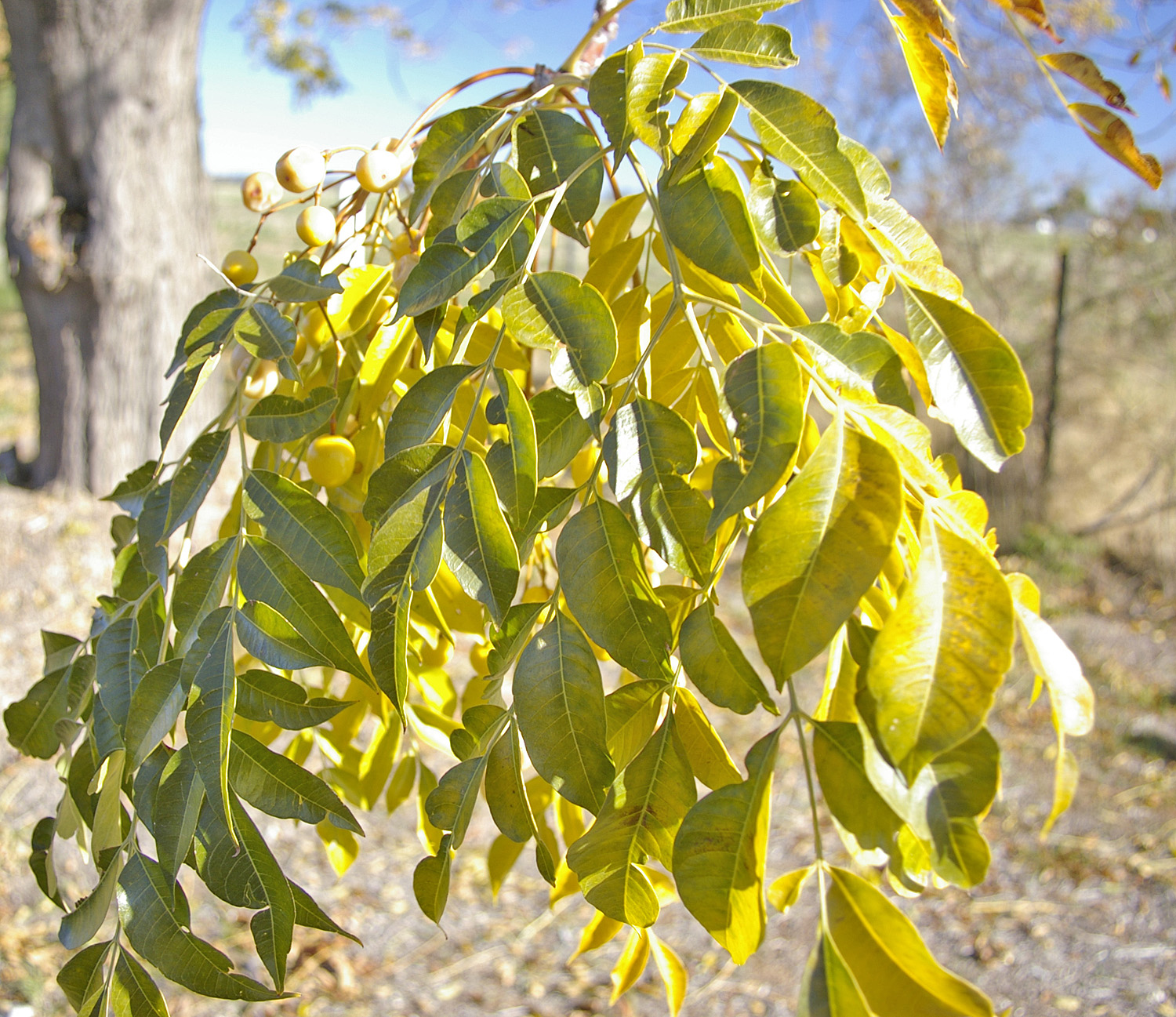 Umbrella Plant Toxic: Chinaberry Poisoning In Horses