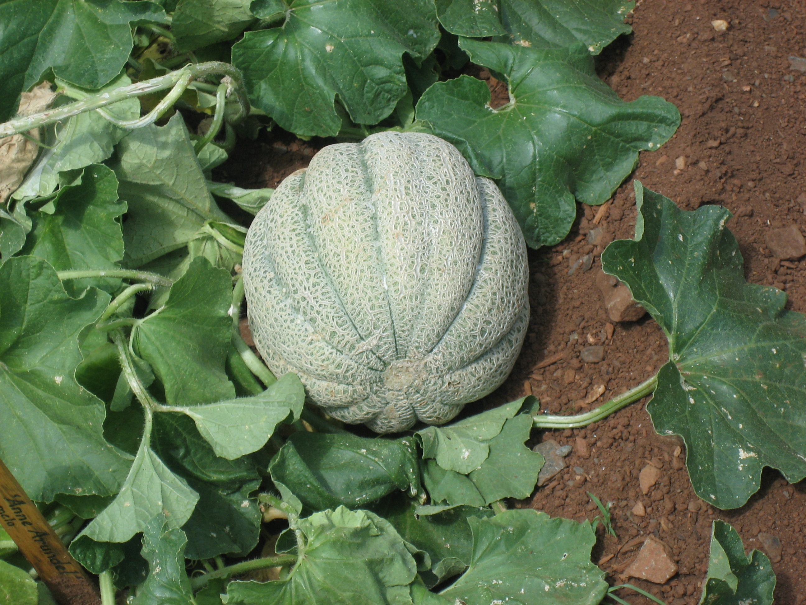 Muskmelon Wikipedia