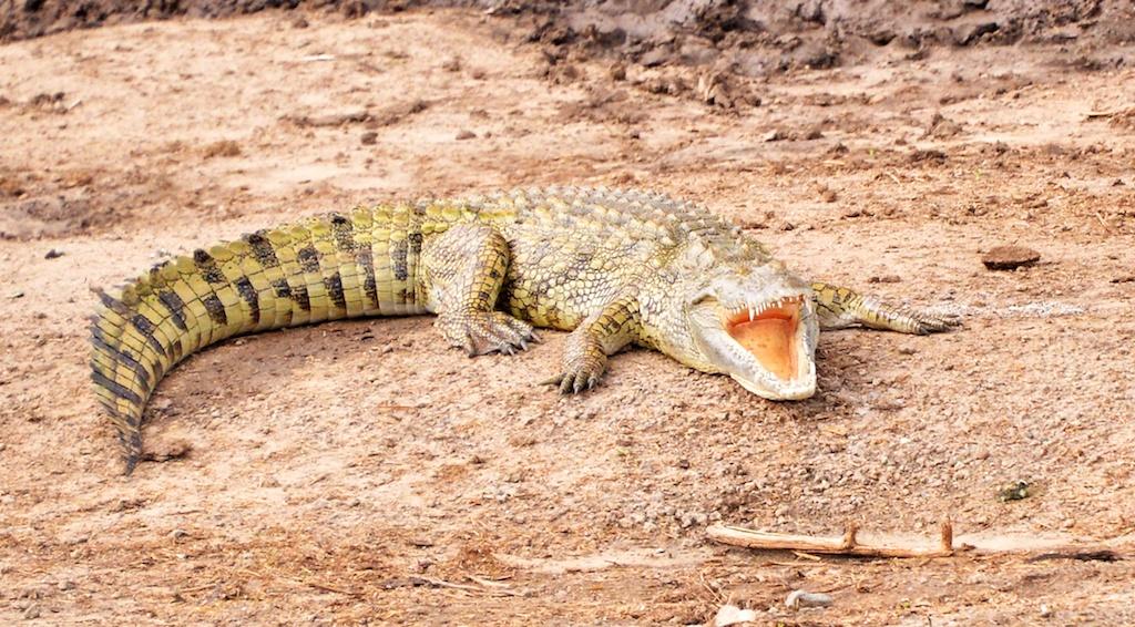 Ah Les Crocodiles Wikipédia