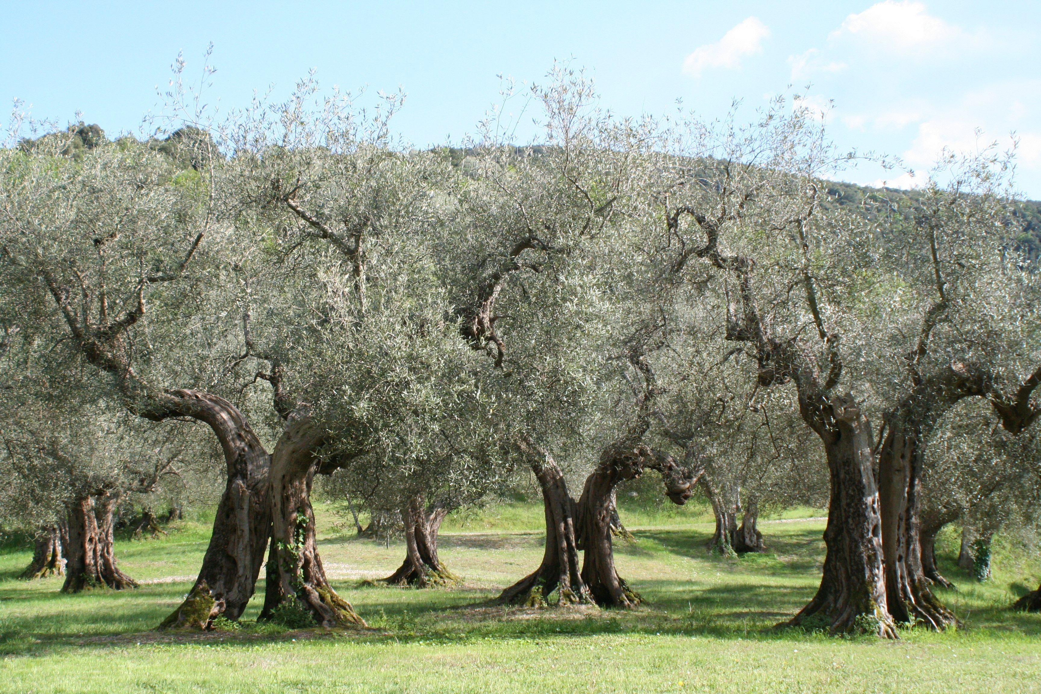 Olivenb%C3%A4ume_Umbrien.jpg