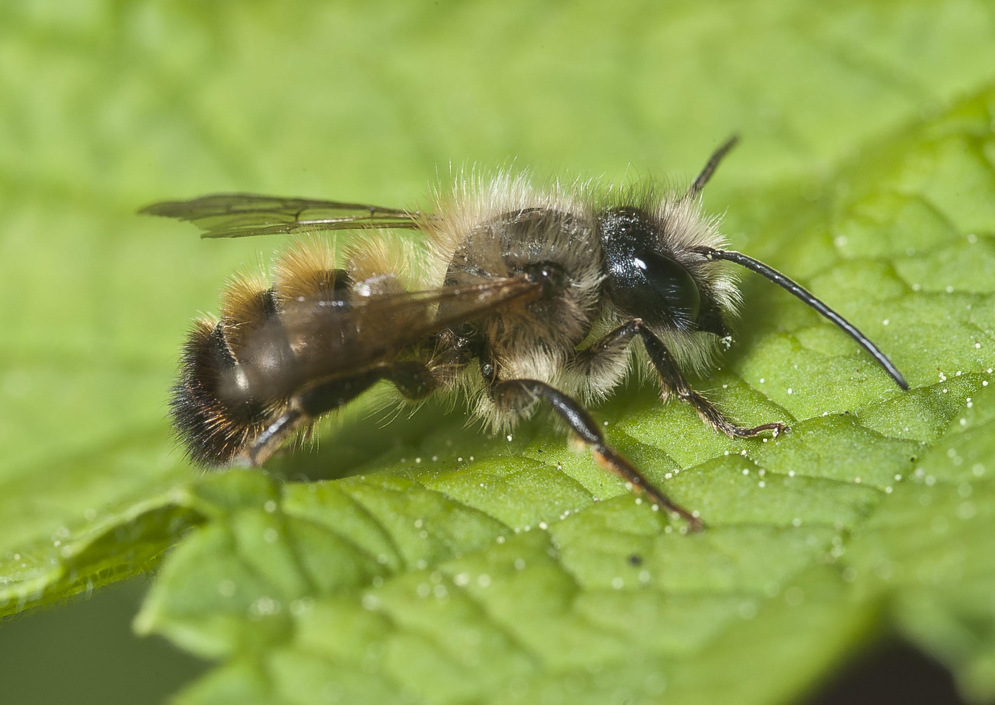 File:Osmia bicornis-pjt jpg - Wikimedia Commons