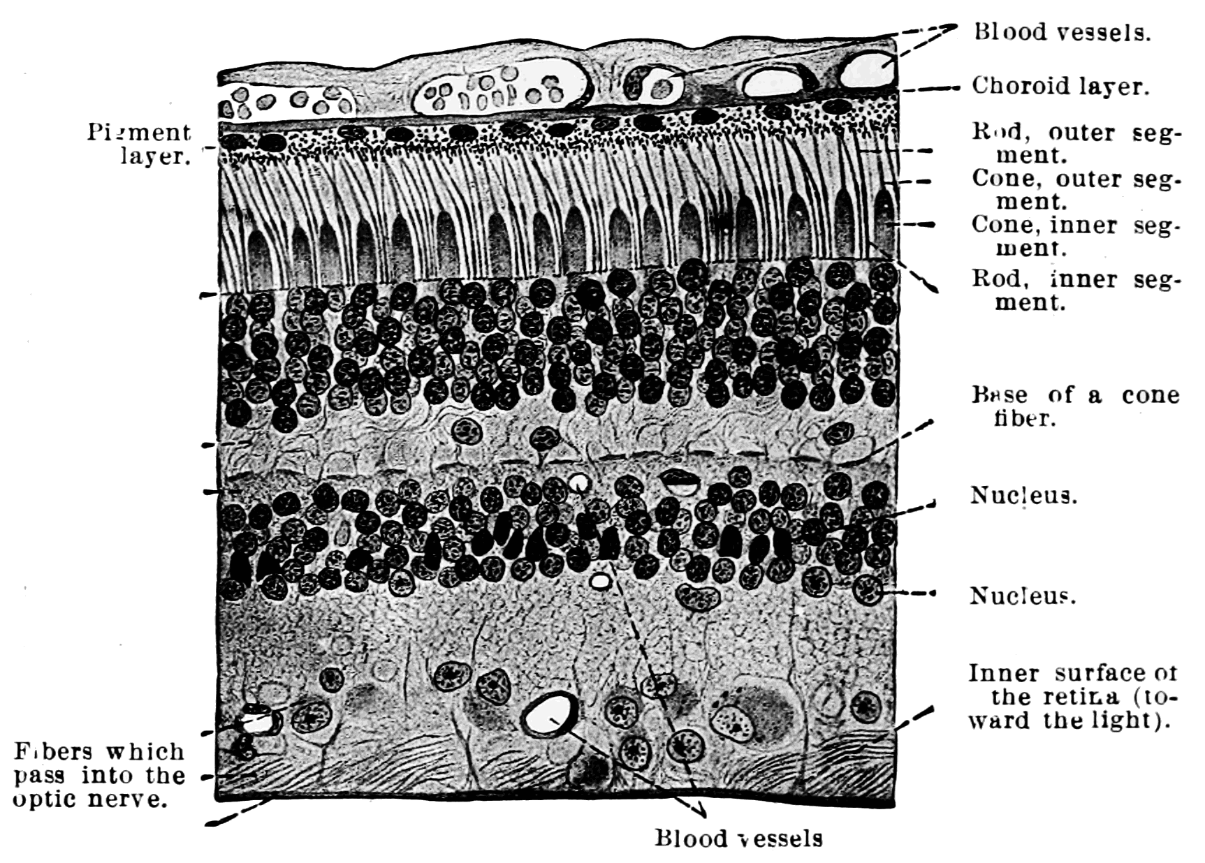 File:PSM V71 D118 Section of the human retina.png ...