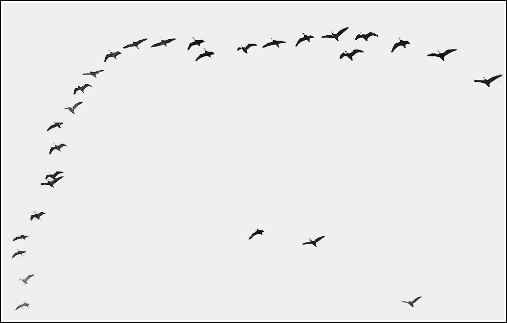 PSM V84 D219 Flocking habit of migratory birds fig7.jpg