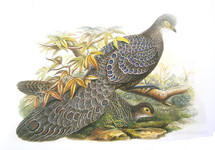 https://upload.wikimedia.org/wikipedia/commons/f/ff/PeacockPheasantGould.jpg