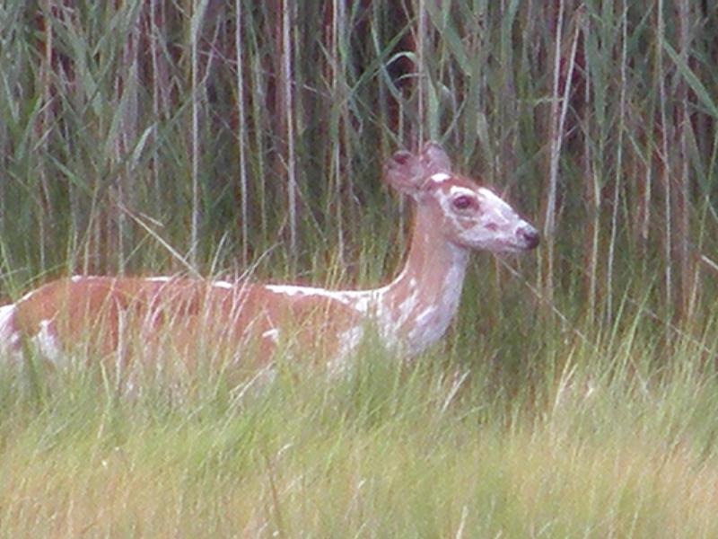 File:Piebald deer.JPG