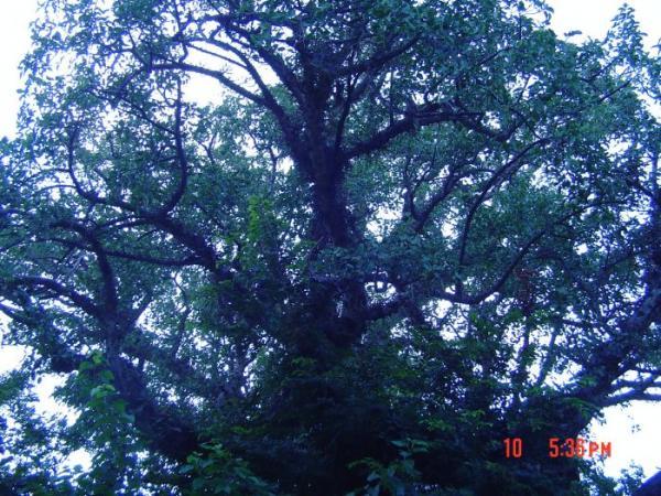 עצי שיקמה