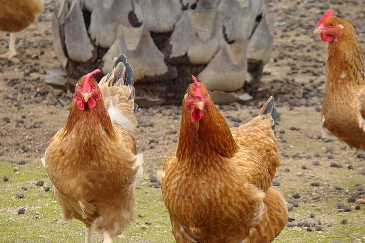 """Résultat de recherche d'images pour """"poules"""""""
