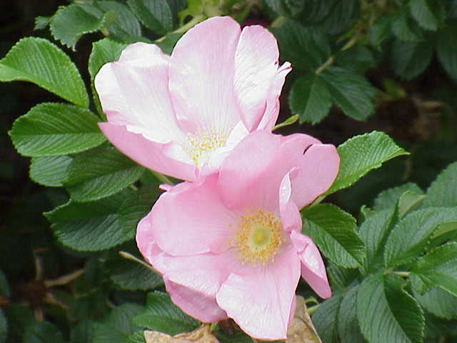 -- wild beach rose (rosa rugosa) at Wikipedia --